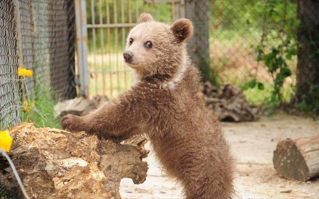 αρκουδάκι υπό προστασία κελί λουλούδι φύση arktouros | youbehero