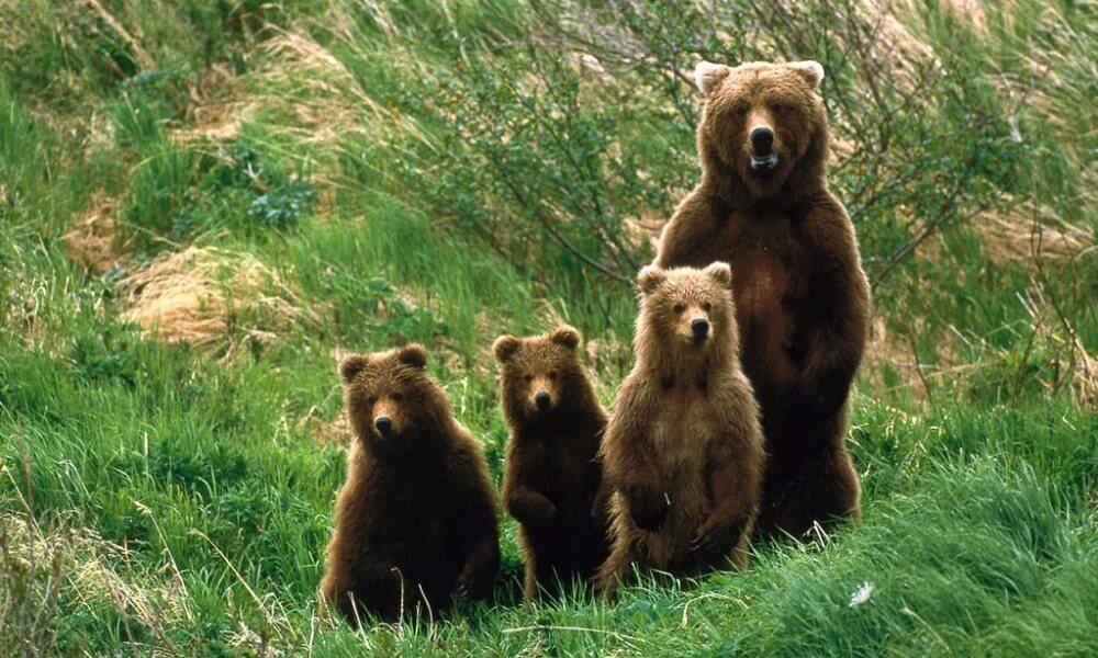 οικογένεια από αρκούδες στην φύση πράσινο arktouros | Youbehero