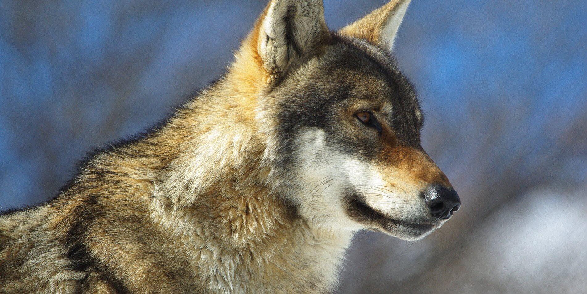 λύκος στην φύση υπό προστασία arktouros | youbehero